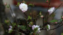 Ngắm vườn nhất chi mai hiếm có, khó trồng ở Hà Nội