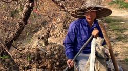 Dân tứ xứ đánh gốc, chở đào thuê thu tiền triệu mỗi ngày