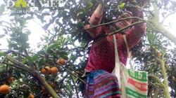 Hoa mắt ngắm phụ nữ Mông mặc váy trèo cây hái cam sành Hà Giang