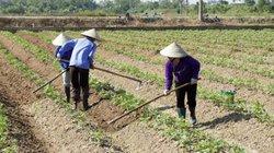 Trồng khoai tây trên đất 2 lúa, thu nhập 83 triệu đồng/ha