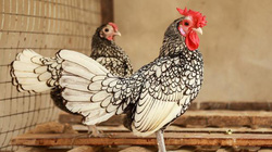 """Đàn gà tiền tỷ """"đẹp như tranh"""" dịp Tết Đinh Dậu"""