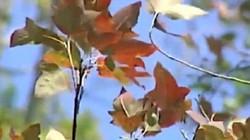 Video: Có một rừng phong tuyệt đẹp đang thay lá ở Hải Dương