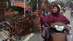 """Hà Nội mưa tầm tã, người trồng đào """"sốt vó"""" lo thiệt hại"""