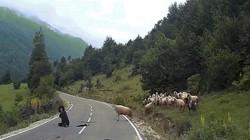 """Cừu hung hãn húc ngã người chăn như trút """"hận thù"""""""
