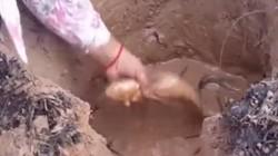 Clip: 2 mẹ con bắt nửa thùng cá lóc với 1 rãnh nước