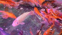 Rộ mốt mua cá chép màu sắc độc, lạ cúng ông Công, ông Táo