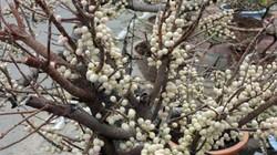 Tận thấy cây sộp lộc đỏ hàng chục năm tuổi cho trái chằng chịt