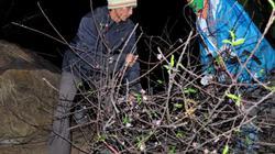Nhà nông Ninh Bình thức trắng đêm bán đào Tết
