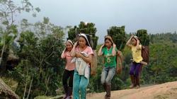 Thanh Hóa: Lá dong rừng có giá cao ngất ngưởng