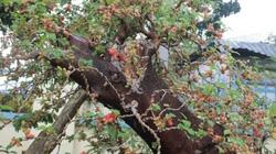 Cây dâu 150 tuổi chi chít quả được ra giá 50 triệu ở Nha Trang