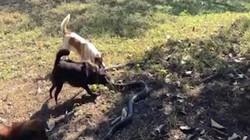 Thái Lan: 4 chú chó đại chiến rắn hổ mang chúa dài 2,5m