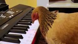 """Gà mái chơi piano điêu luyện bản """"Nước Mỹ tươi đẹp"""""""