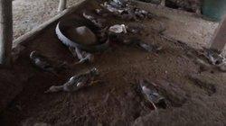 Vụ 900 con vịt chết khi ăn thóc nghi nhiễm độc: Luật sư nói gì?