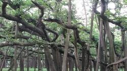 Cây đa cổ thụ 250 tuổi lớn bằng cả khu rừng ở Ấn Độ