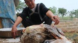 Hà Nội: Thêm gần 600 con vịt chết nghi ăn ngô có độc?
