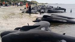 Sau một đêm, 400 cá voi mắc cạn bí ẩn ở New Zealand