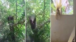 Hổ mang khổng lồ điên cuồng tấn công mèo sau cửa kính