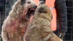 Chọi chó săn máu me đáng sợ ở Kyrgyzstan