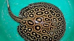 Đồng Tháp: Cá đuối khủng nặng 115kg, dài hơn 3,5m