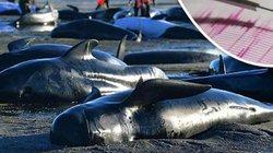 Hàng trăm cá voi chết dạt bờ, sắp xảy ra siêu động đất?