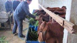 Nghệ An: Đẩy mạnh chăn nuôi tạo nguồn hàng hóa sạch