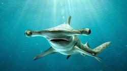 10 loài cá mập nguy hiểm nhất trong đại dương
