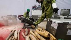Khó định được giá trị sừng tê giác, ngà voi để xử lý hình sự