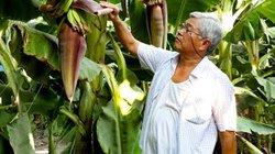 Lão nông xuất sắc Việt Nam hiến kế giải cứu chuối ế