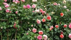 Du khách ngơ ngẩn với vườn hồng đẹp ngoại như mơ ở ngoại thành HN