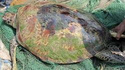 """Kéo rách lưới để bắt rùa """"khủng"""" nặng 60kg trên sông Lam"""