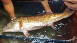 Nghệ An: Bắt được cá nặng 8kg, nghi sủ vàng quý hiếm