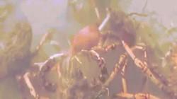 Video: Đội quân cua nhện xé xác bạch tuộc dưới đáy biển