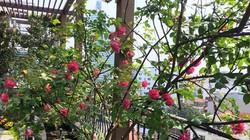 Không cần quà 8/3 vì có cả vườn hồng đẹp như mơ