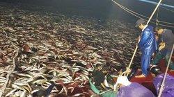 Clip: Mẻ cá bè vàng lịch sử 160 tấn, giá trị hơn 5 tỷ đồng