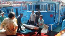 Ngư dân trúng đậm cá ngừ đại dương, lãi trăm triệu đồng mỗi chuyến