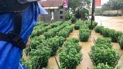 Quảng Ngãi: Mất tiền tỷ do lũ, người trồng hoa không được hỗ trợ