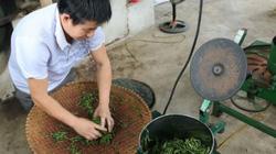 """Nhà nông Nghệ An """"lên đời"""" cho cây chè để làm hài lòng khách Nhật"""