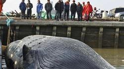 Xác cá voi 20 tấn không đầu, không vây dạt cảng TQ