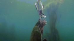 Video: Rùa khổng lồ dìm vịt chết ngạt dưới nước ăn thịt