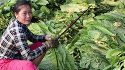 Trồng 10 cây sâu hại chết 3, nông dân ngán ngẩm cây thuốc lá
