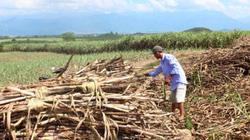 1.000 tấn mía có nguy cơ thành củi vì sự cố nhà máy đường