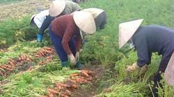 """Có liên kết, người trồng cà rốt vẫn lo bị """"xù"""""""