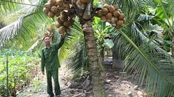 """Trồng dừa Mã Lai, trái sai quanh """"cổ"""", mùa nóng thu 30 triệu/tháng"""