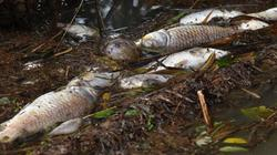 Cá chết bất thường trải dài hơn 3km trên sông ở Quảng Ngãi