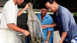 Làm giàu ở nông thôn: Nuôi con trơn như lươn bán giống, có tiền tỷ
