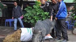 """Nuôi con bán Tết: Săn lợn rừng """"khủng"""" cuối năm"""