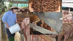 """Thực phẩm sạch ăn Tết:  Chăm lợn giun quế, nghe nhạc ngoại phục vụ """"thượng đế"""" ăn Tết"""