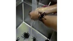 Kinh hãi với món nhện đen khổng lồ chiên giòn
