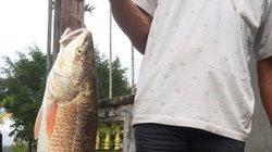 Cá sủ vàng 5kg vẫn nằm ở... tủ đông sau 12 ngày câu được