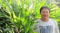 Trồng cây bán Tết: Trồng cây Mật cật, tất bật bán cả lá lẫn cây